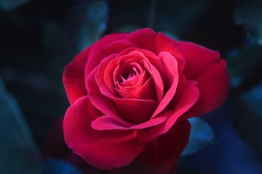 バラと催眠 ~現代催眠とは何か